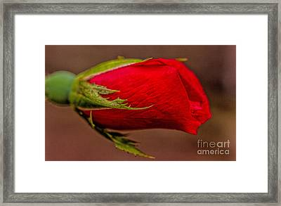 A Knockout Bloom Framed Print by Dave Bosse