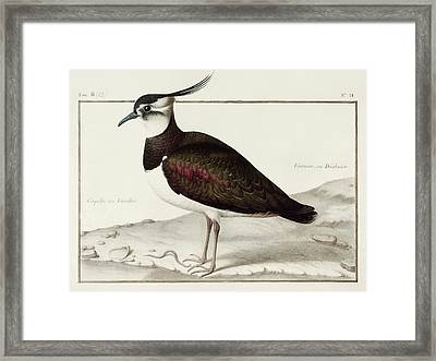 A Lapwing Framed Print by Nicolas Robert