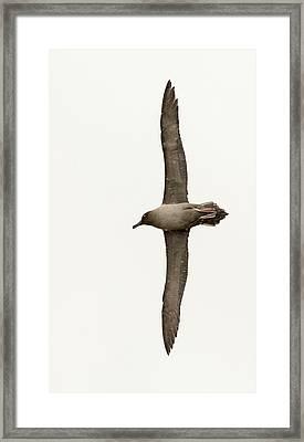 A Light Mantled Albatross Framed Print by Ashley Cooper