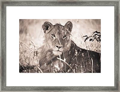 A Lioness Lays In The Shade Kenya Framed Print by David DuChemin