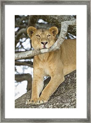A Lion's Pause Framed Print by John Blumenkamp