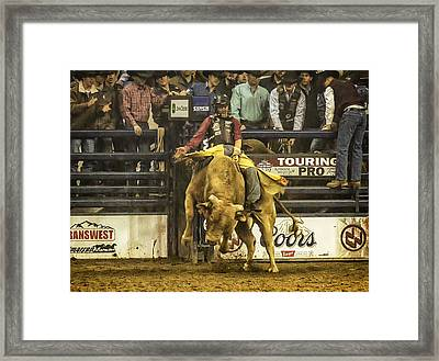 A Lot Of Bull At The National Stock Show Framed Print by Priscilla Burgers