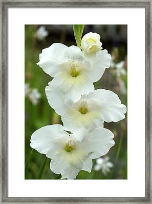 A Lovely White With A Hint Of Yellow Gladiolus Framed Print by Kim Pate