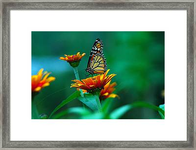 A Monarch Framed Print by Raymond Salani III