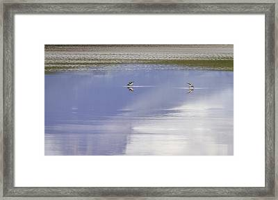 A Pair Of American Avocets Framed Print by Thomas Young