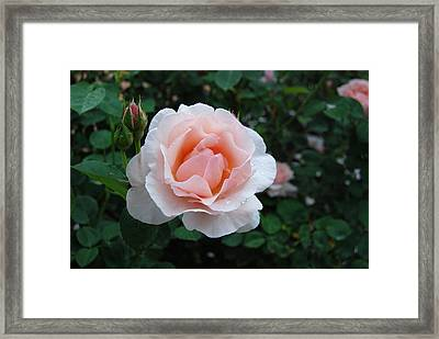 A Pink Rose For You Framed Print by Eva Kaufman