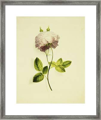 A Pink Rose Framed Print by James Holland