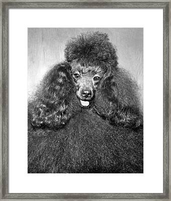 A Poodle And His Hairdo Framed Print by Underwood Archives