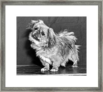 A Quizzical Pekingese Framed Print by Underwood Archives