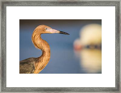 A Reddish Egret Profile Framed Print by Andres Leon