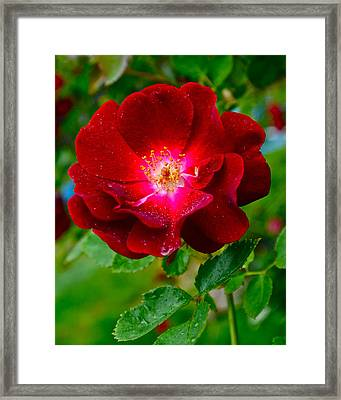 A Rose Is A Rose Framed Print by Frozen in Time Fine Art Photography