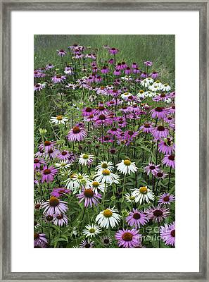 A Sea Of Echinacea  Framed Print by Tim Gainey