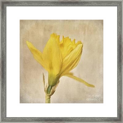 A Simple Daffodil Framed Print by Priska Wettstein