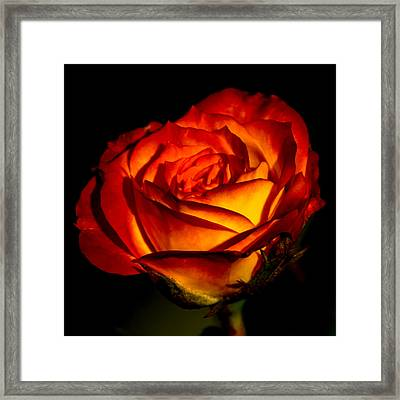 A Special Rose Framed Print by Ernie Echols