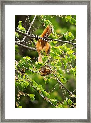 A Squirrely Day Framed Print by Howard Tenke