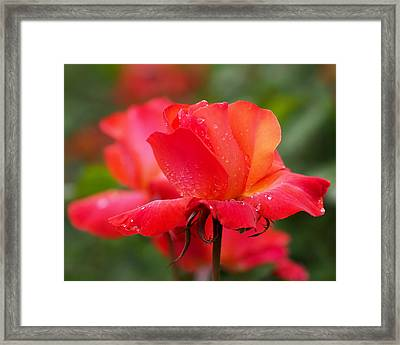 A Tintinara Rose In The Rain Framed Print by Rona Black