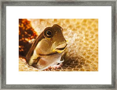 A Tiny Combtooth Blenny, Ecsenius Sp, Emerges From A Hole In Hard Coral Off The Island Of Yap_ Micronesia Framed Print by Dave Fleetham