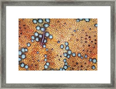 A Tiny Shrimp Periclimenes Soror Lives Framed Print by Ethan Daniels
