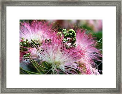 A Touch Of Mimosa Framed Print by Mountain Dreams