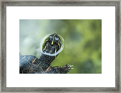 A Turtle Swimming With Its Head Peeping Framed Print by Rona Schwarz