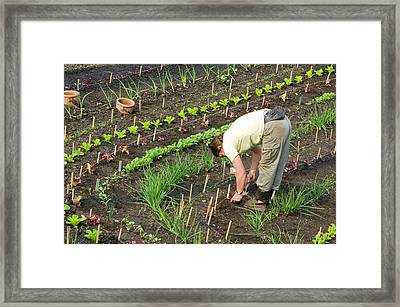 A Vegetable Bed At The Eden Project Framed Print by Ashley Cooper