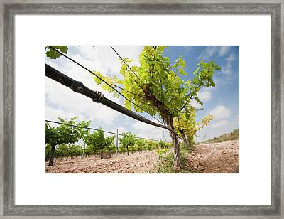 A Vineyard Near Jumilla Framed Print by Ashley Cooper