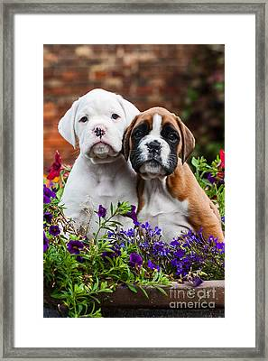 a white and brown Boxer dog puppy  Framed Print by Doreen Zorn