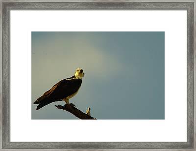 A Wide Eyed Osprey Framed Print by Jeff Swan