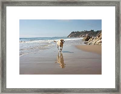 A Yellow Labrador Retriever Reflecting Framed Print by Zandria Muench Beraldo