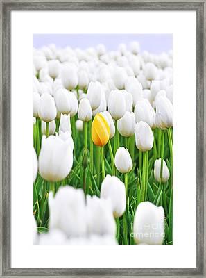 A Yellow Tulip Framed Print by Lars Ruecker