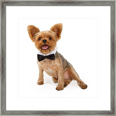 A Yorkshire Terrier Puppy With A Bow Tie Framed Print by Susan  Schmitz