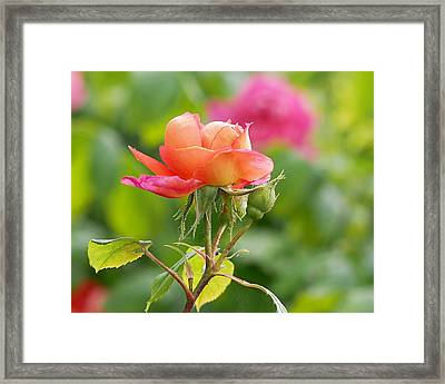 A Young Benjamin Britten Rose Framed Print by Rona Black