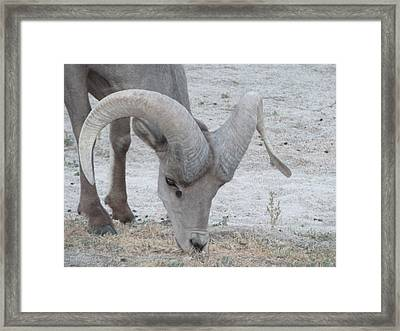 A Young Desert Bighorn Grazes On Framed Print by Carolina Liechtenstein