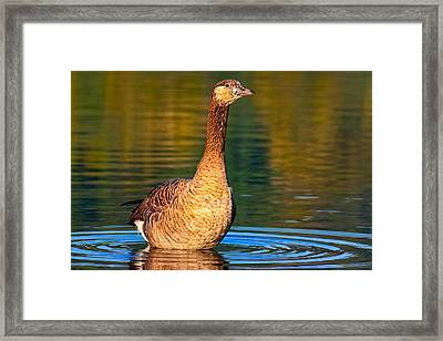 A Young Goose Is On The Loose Framed Print by Mark E Tisdale