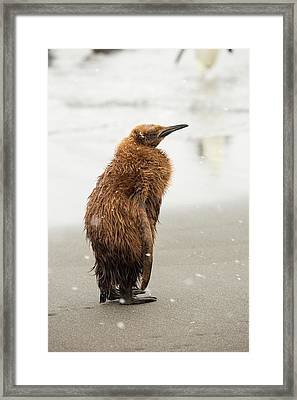 A Young King Penguin Framed Print by Ashley Cooper
