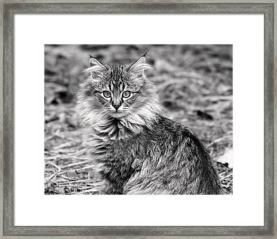 A Young Maine Coon Framed Print by Rona Black