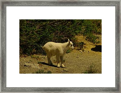 A Young Mountain Goat Framed Print by Jeff Swan