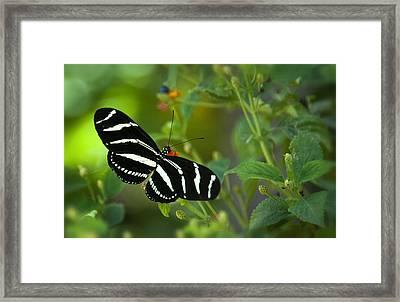 A Zebra Longwing Butterfly  Framed Print by Saija  Lehtonen