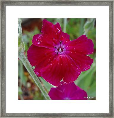 Abbotswood Rose Framed Print by Sarah Malley