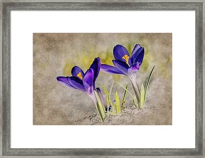 Abstract Crocus Background Framed Print by Jaroslaw Grudzinski
