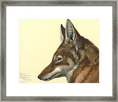Abyssinian Wolf Framed Print by Louis Agassiz Fuertes