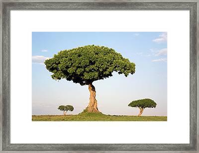 Acacia Trees Masai Mara Kenya Framed Print by Ingo Arndt