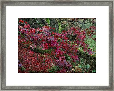 Acer Chatsworth Gardens Framed Print by Jerry Daniel