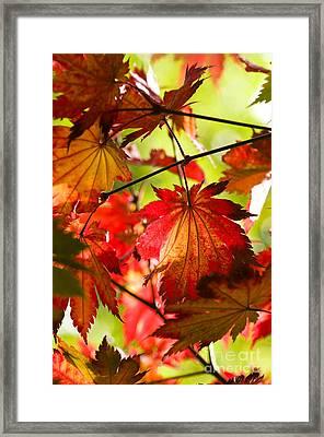 Acer Japonicum O Isami Framed Print by Anne Gilbert