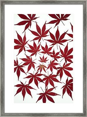 Acer Leaf Pattern Framed Print by Tim Gainey