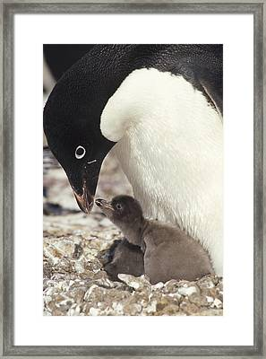 Adelie Penguin Chick Begging Parent Framed Print by Tui De Roy