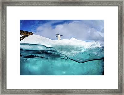 Adelie Penguin On Iceberg Framed Print by Justin Hofman