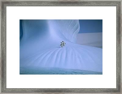 Adelie Penguins On Iceberg Antarctica Framed Print by Peter Sinden