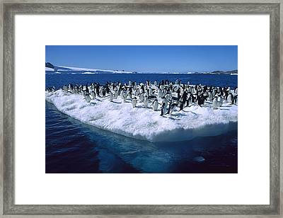 Adelie Penguins On Icefloe Antarctica Framed Print by Colin Monteath