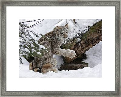 Adorable Baby Lynx In A Snowy Forest Framed Print by Inspired Nature Photography Fine Art Photography